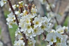 Blommor av plommon 1 Royaltyfria Bilder