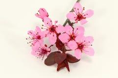 Blommor av plommonet Royaltyfri Bild