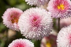 Blommor av podiumbellisen blommar, vit, rosa färgen som blommar i ängen Arkivbild