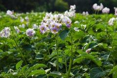 Blommor av potatisen Fotografering för Bildbyråer