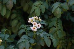 Blommor av potatisfält royaltyfri fotografi