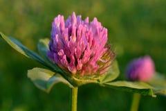 Blommor av röd växt av släkten Trifolium. arkivbild