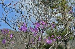 Blommor av rhododendron (rhododendronmucronulatum) 11 Arkivfoton