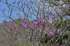 Blommor av rhododendron (rhododendronmucronulatum) 12 Royaltyfri Foto