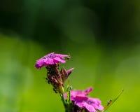 Blommor av rosa dekorativa nejlikor Royaltyfri Bild