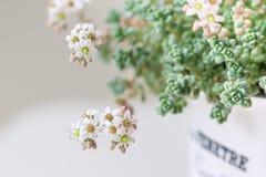 Blommor av Sedum, suckulenter Royaltyfria Bilder