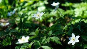 Blommor av snödroppar som blommas i vår i, parkerar på en solig dag arkivfilmer