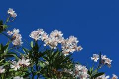 Blommor av Spanien Fotografering för Bildbyråer