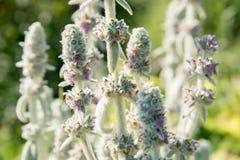 Blommor av stachysen av byzantinen med gröna mjuka sidor i gummina royaltyfri foto