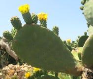 Blommor av taggiga päron som fästas till kaktuns arkivbilder