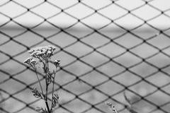 Blommor av tansyen på ett bakgrundsraster svart white Royaltyfri Bild