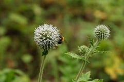 Blommor av tisteln som ett bi sitter på en medmänniska Royaltyfria Foton