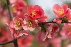 Blommor av trädet för japansk kvitten - symbolet av våren, makro sköt w Arkivbild