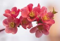 Blommor av trädet för japansk kvitten - symbolet av våren, makro sköt w Arkivfoton
