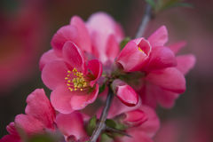 Blommor av trädet för japansk kvitten - symbolet av våren, makro sköt w Royaltyfri Bild