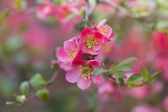 Blommor av trädet för japansk kvitten - symbolet av våren, makro sköt w Arkivfoto
