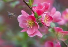 Blommor av trädet för japansk kvitten - symbolet av våren, makro sköt w Royaltyfri Foto