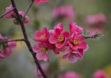 Blommor av trädet för japansk kvitten - symbolet av våren, makro sköt w Royaltyfria Bilder
