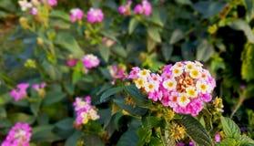 Blommor av tre färger som är vita som är rosa, fuchsian och en härlig gul mitt arkivbilder