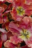 Blommor av tulpan Arkivbild