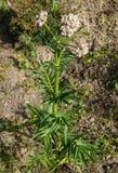 Blommor av Valerianaväxten Royaltyfri Bild