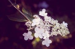 Blommor av vanlig hortensiabretschneiderien royaltyfri fotografi