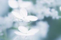 Blommor av vanlig hortensiabretschneiderien arkivfoto
