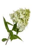 Blommor av vanlig hortensiapaniculataen Arkivfoto