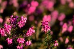 Blommor av vintern, blommor av ljung fotografering för bildbyråer