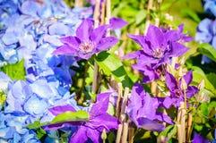 Blommor av Violet Clematis och den blåa vanliga hortensian i en trädgård Arkivfoto