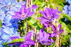 Blommor av Violet Clematis och den blåa vanliga hortensian i en trädgård Arkivfoton