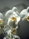 Blommor av vita orkidér i en stråle av solljus Arkivbild