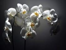 Blommor av vita orkidér i en stråle av solljus Royaltyfri Foto