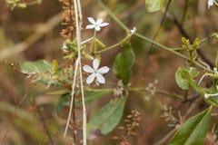 Blommor av zeylanicaen för Ceylon leadwortblyerts arkivfoto