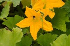 blommor av zucchinin med sidor i trädgården royaltyfri fotografi