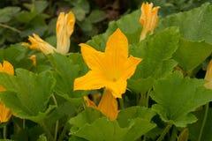 blommor av zucchinin med sidor i trädgården Arkivbilder