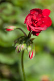 Blommor - blomma - knoppar Royaltyfria Bilder