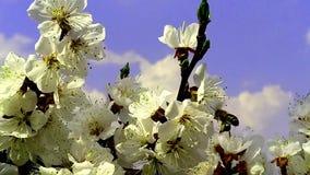 Blommor blomstrar p? filialerna Cherry Tree arkivfilmer
