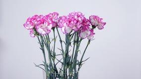 Blommor buketten, rotation på vit bakgrund, blom- sammansättning består av ljus purpurfärgad turkisk nejlika lager videofilmer
