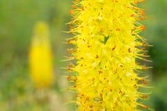 Blommor Eremurus Royaltyfri Fotografi