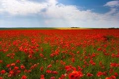 Blommor - ett fält av röda vallmo Royaltyfri Fotografi