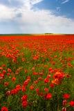 Blommor - ett fält av röda vallmo Royaltyfria Bilder