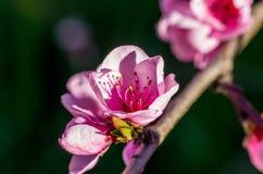 blommor för äppledjupfält blir grund treen royaltyfri fotografi
