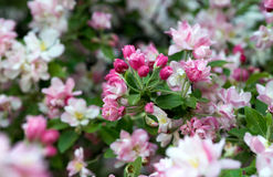 blommor för äppledjupfält blir grund treen Royaltyfri Foto