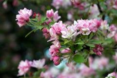 blommor för äppledjupfält blir grund treen Royaltyfri Bild