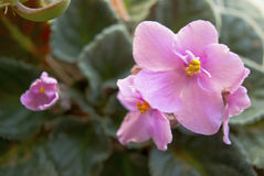 Blommor för afrikansk violet Royaltyfria Foton