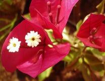 Blommor för ans för röda blommor små vita Royaltyfri Foto