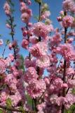 Blommor för Apple blomningrosa färger Arkivfoto