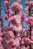 Blommor för Apple blomningrosa färger Royaltyfria Bilder