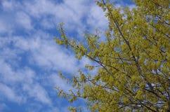 Blommor för blå himmel och för levande ek Royaltyfri Foto